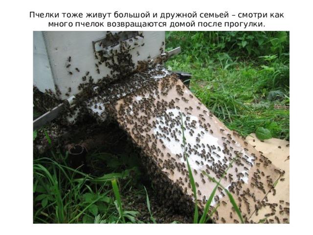 Пчелки тоже живут большой и дружной семьей – смотри как много пчелок возвращаются домой после прогулки.