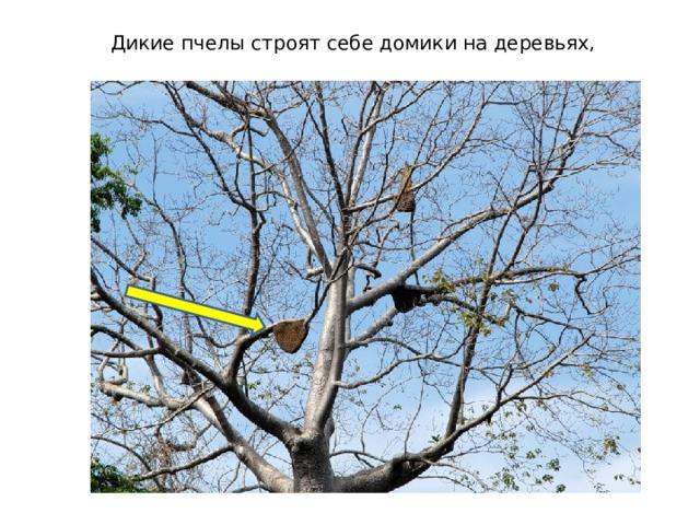 Дикие пчелы строят себе домики на деревьях,