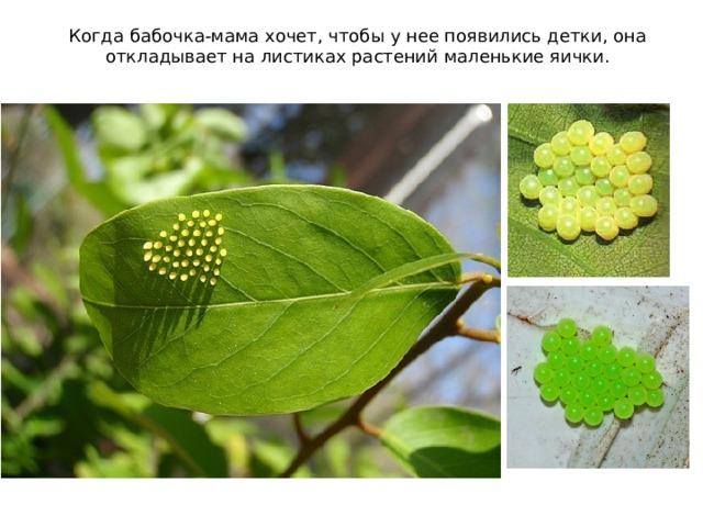 Когда бабочка-мама хочет, чтобы у нее появились детки, она откладывает на листиках растений маленькие яички.