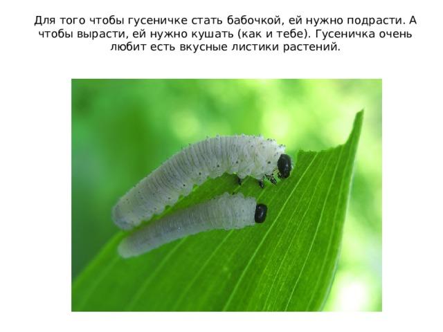 Для того чтобы гусеничке стать бабочкой, ей нужно подрасти. А чтобы вырасти, ей нужно кушать (как и тебе). Гусеничка очень любит есть вкусные листики растений.