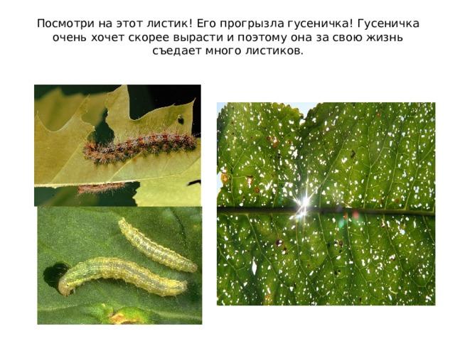 Посмотри на этот листик! Его прогрызла гусеничка! Гусеничка очень хочет скорее вырасти и поэтому она за свою жизнь съедает много листиков.