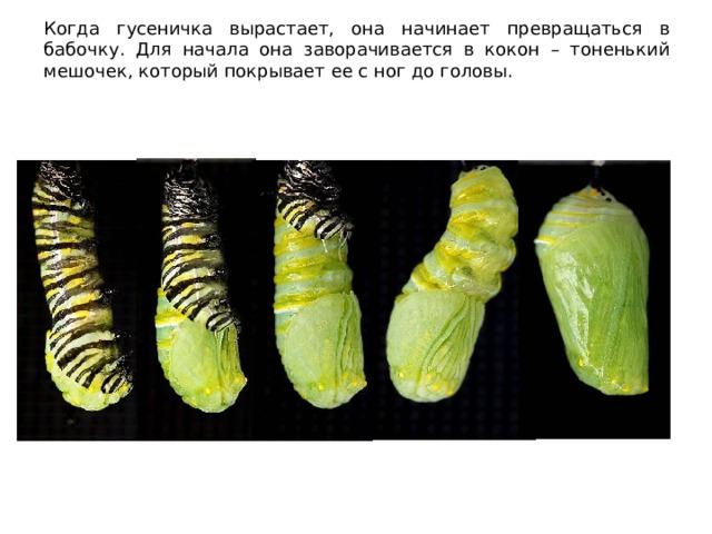 Когда гусеничка вырастает, она начинает превращаться в бабочку. Для начала она заворачивается в кокон – тоненький мешочек, который покрывает ее с ног до головы.