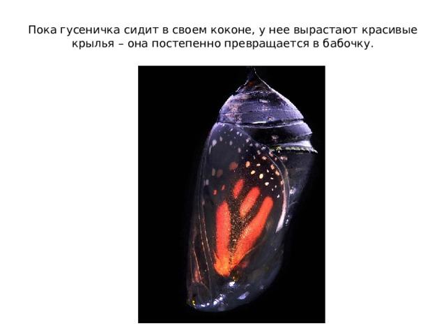 Пока гусеничка сидит в своем коконе, у нее вырастают красивые крылья – она постепенно превращается в бабочку.
