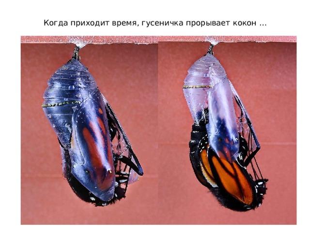 Когда приходит время, гусеничка прорывает кокон …