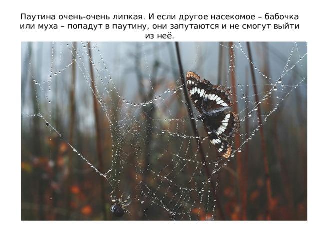 Паутина очень-очень липкая. И если другое насекомое – бабочка или муха – попадут в паутину, они запутаются и не смогут выйти из неё.