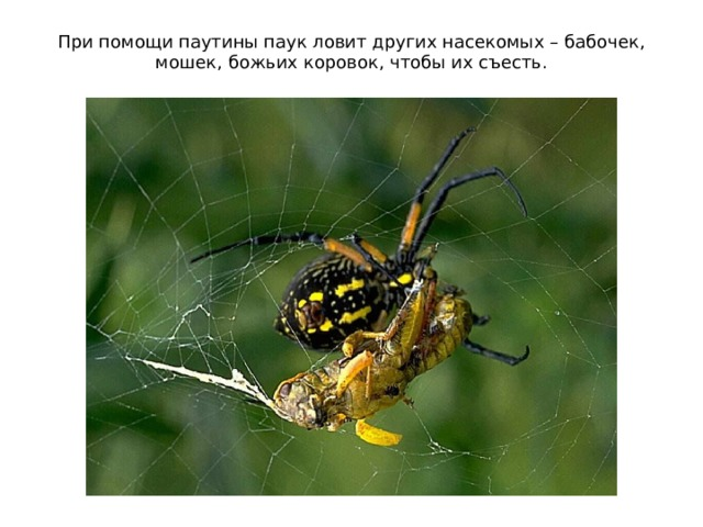 При помощи паутины паук ловит других насекомых – бабочек, мошек, божьих коровок, чтобы их съесть.