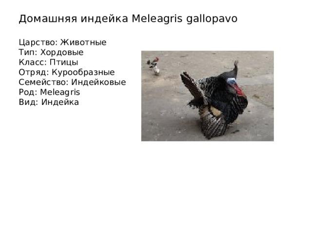 Домашняя индейка Meleagris gallopavo   Царство: Животные  Тип: Хордовые  Класс: Птицы  Отряд: Курообразные  Семейство: Индейковые  Род: Meleagris  Вид: Индейка