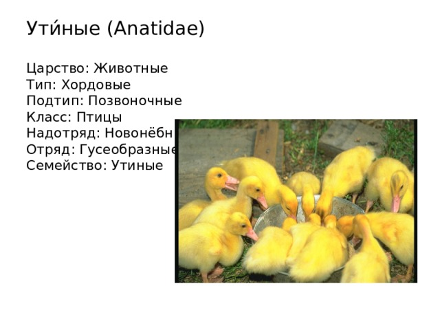Ути́ные (Anatidae)   Царство: Животные  Тип: Хордовые  Подтип: Позвоночные  Класс: Птицы  Надотряд: Новонёбные  Отряд: Гусеобразные  Семейство: Утиные