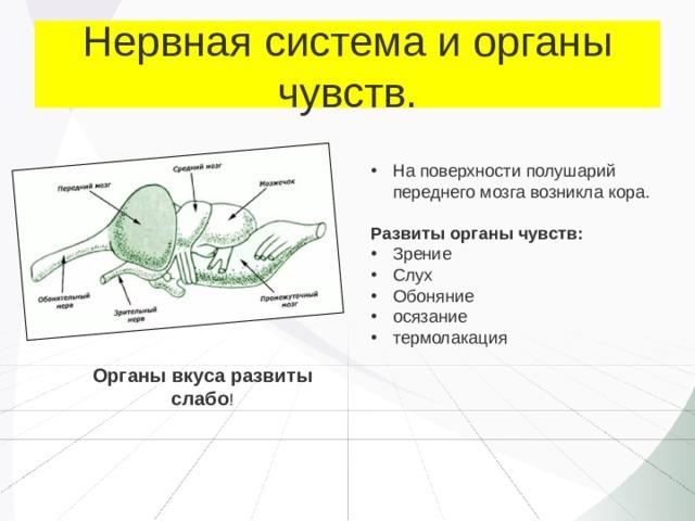 Нервная система и органы чувств. На поверхности полушарий переднего мозга возникла кора. Развиты органы чувств: Зрение Слух Обоняние осязание термолакация Органы вкуса развиты слабо !