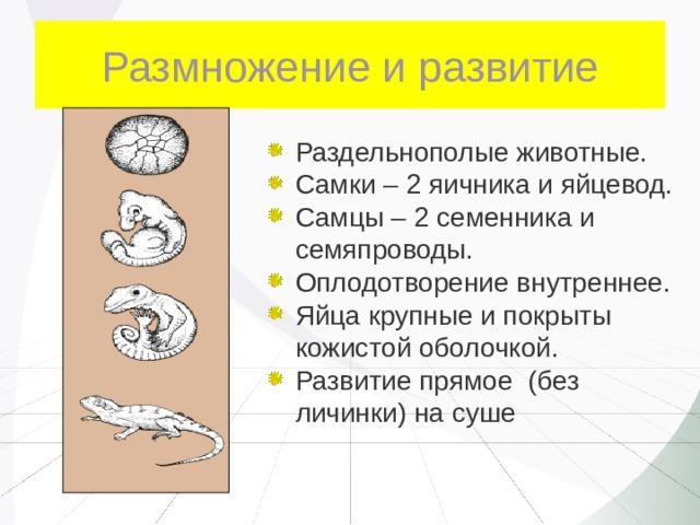 Размножение и развитие Раздельнополые животные. Самки – 2 яичника и яйцевод. Самцы – 2 семенника и семяпроводы. Оплодотворение внутреннее. Яйца крупные и покрыты кожистой оболочкой. Развитие прямое (без личинки) на суше