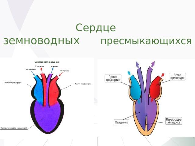 Сердце  земноводных пресмыкающихся