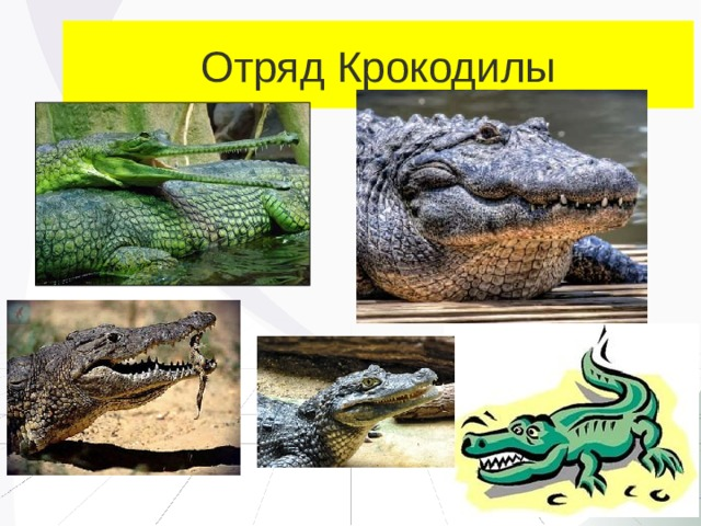 Отряд Крокодилы
