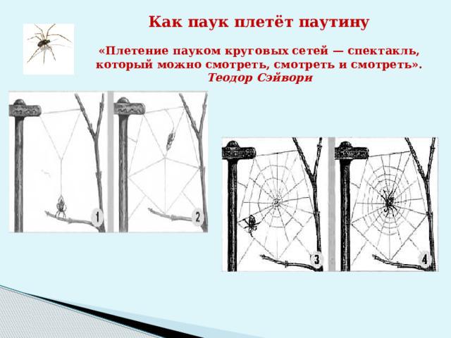 Как паук плетёт паутину  «Плетение пауком круговых сетей — спектакль,  который можно смотреть, смотреть и смотреть». Теодор Сэйвори
