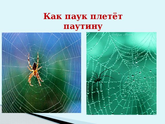 Как паук плетёт паутину