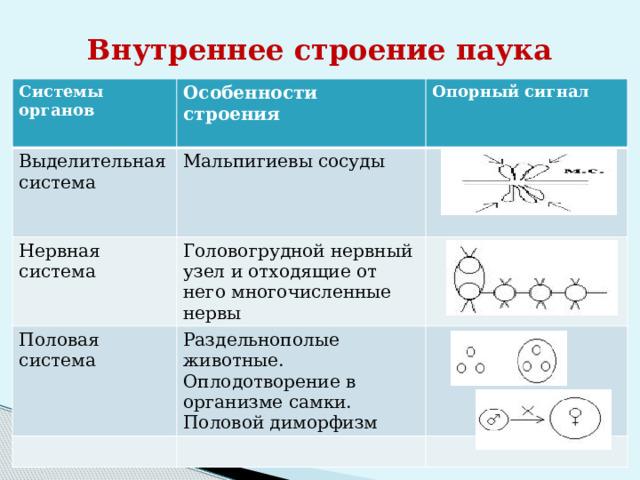 Внутреннее строение паука Системы органов Выделительная система Особенности строения  Нервная система Мальпигиевы сосуды Опорный сигнал   Головогрудной нервный узел и отходящие от него многочисленные нервы Половая система Раздельнополые животные. Оплодотворение в организме самки. Половой диморфизм
