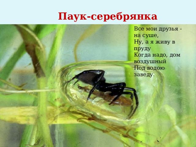 Паук-серебрянка Все мои друзья - на суше,  Ну, а я живу в пруду  Когда надо, дом воздушный  Под водою заведу.