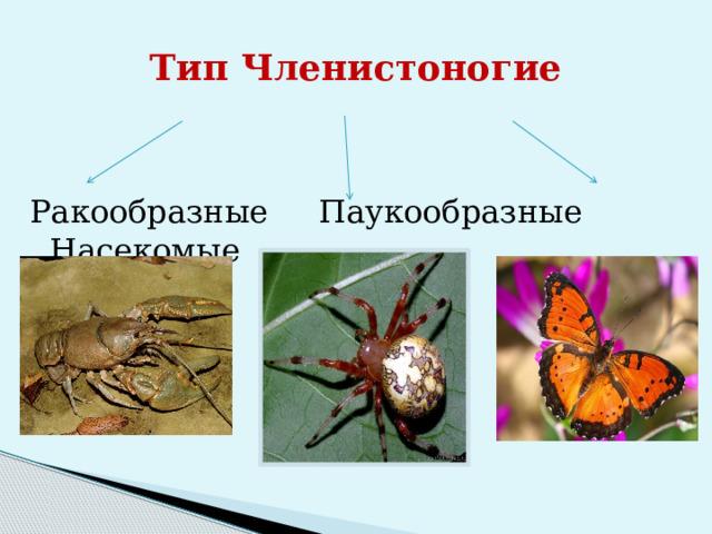 Тип Членистоногие Ракообразные Паукообразные Насекомые