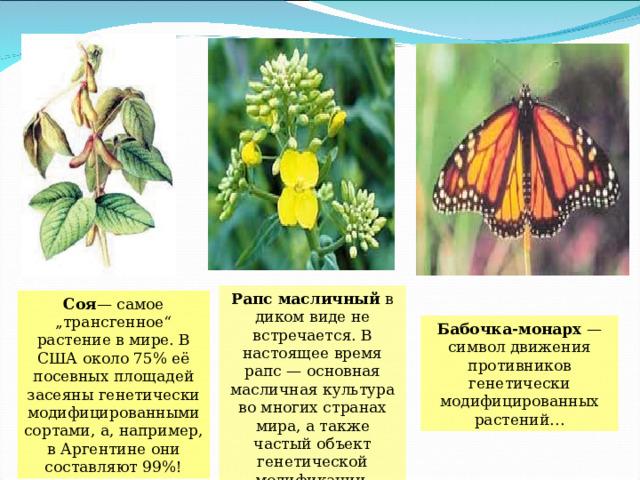 """Рапс масличный в диком виде не встречается. В настоящее время рапс — основная масличная культура во многих странах мира, а также частый объект генетической модификации. Соя — самое """"трансгенное"""" растение в мире. В США около 75% её посевных площадей засеяны генетически модифицированными сортами, а, например, в Аргентине они составляют 99%! Бабочка-монарх — символ движения противников генетически модифицированных растений…"""