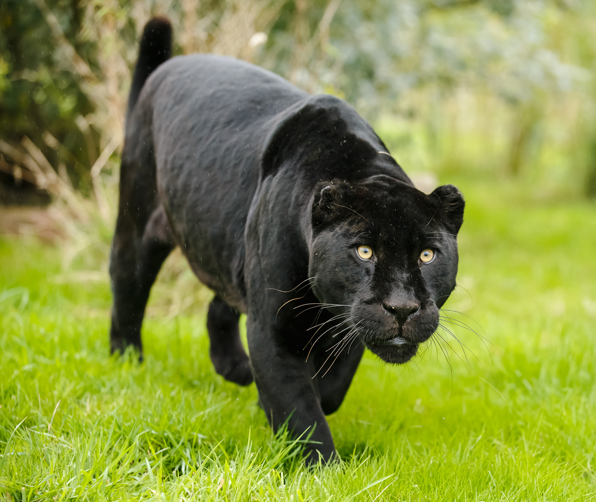 пума черная фото животное миру